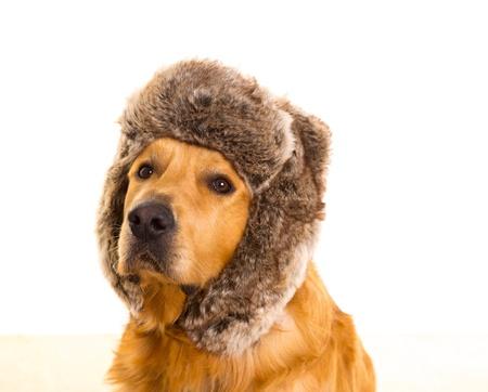 golden retriever: Goden retriever dog with funny winter fur cap portrait
