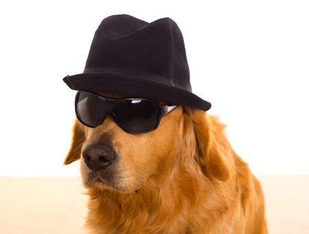 golden retriever: Dog dressed as mafia gangster with black hat and sunglasses golden retriever