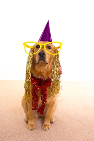 Dog party dressed  purple hat and big glasses golden retriever photo