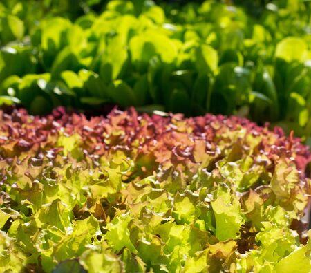 escarola: endibia lechuga brotes de verduras texturas alimentos