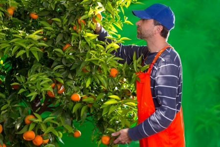 Tangerine orange farmer collecting man in mediterranean Spain Stock Photo - 17600566