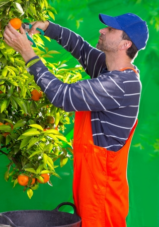 Tangerine orange farmer collecting man in mediterranean Spain Stock Photo - 17600564