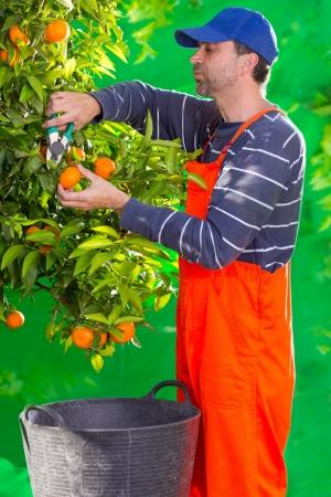 Tangerine orange farmer collecting man in mediterranean Spain Stock Photo - 17600568