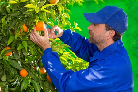 Tangerine orange farmer collecting man in mediterranean Spain Stock Photo - 17600497