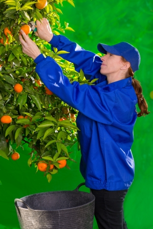 Tangerine orange farmer collecting woman in mediterranean Spain Stock Photo - 17600523