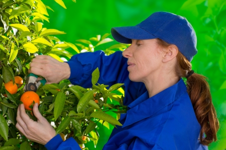 Tangerine orange farmer collecting woman in mediterranean Spain Stock Photo - 17600518