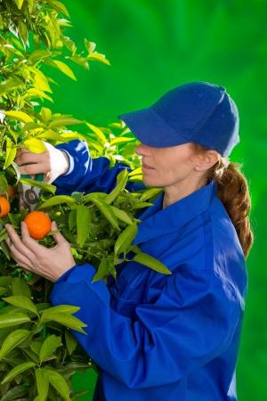 Tangerine orange farmer collecting woman in mediterranean Spain Stock Photo - 17600521