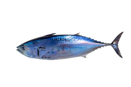 Little tunny tuna fish Euthynnus affinis isolated on white Stock Photo - 17606642
