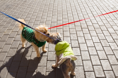 eachother: Dog Yorkshire Terrier couple smelling eachother on street floor