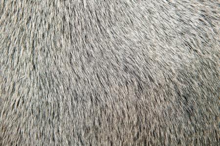 bull white hair closeup macro detail texture background photo