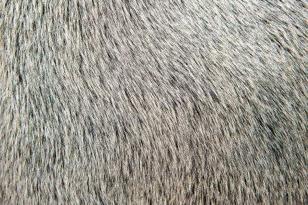 bull white hair closeup macro detail texture background photo