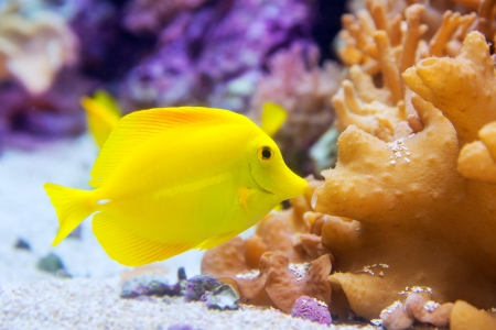 zebrasoma: yellow tang fish Zebrasoma flavesenes on artificial reef