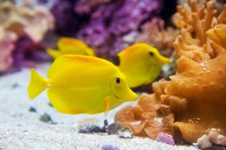 chóralne: Żółty tang Zebrasoma ryby flavesenes na sztucznej rafy
