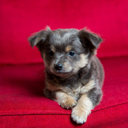 long hair chihuahua: Chihuahua gray long hair puppy dog sitting on red couch relaxed portrait