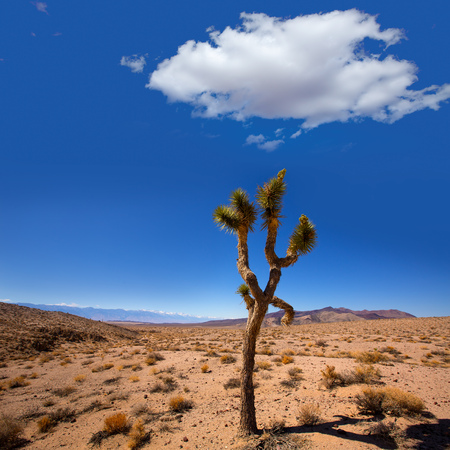 joshua: Death Valley joshua tree yucca plant with snow mountains and desert in California