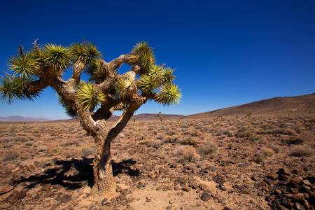 Death Valley joshua tree yucca plant in California Stock Photo