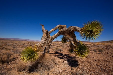 Death Valley joshua tree yucca plant in California Stock Photo - 22212667
