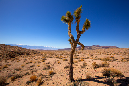 Death Valley joshua tree yucca plant with snow mountains and desert in California photo