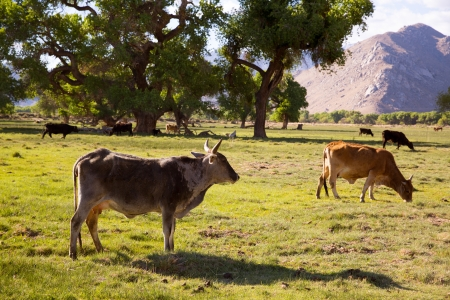 Cows cattle grazing relaxed in California meadows photo