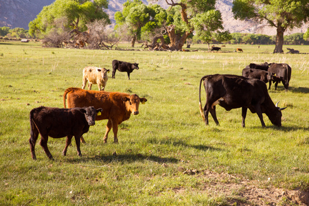 grazing land: Cows cattle grazing relaxed in California meadows Stock Photo