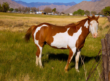 pinto: California pinto paint horse in farm grazing looking camera