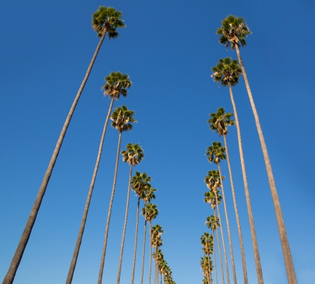 LA Los Angeles palm trees in a row typical California Washingtonia filifera photo