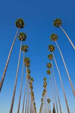 LA Los Angeles palm trees in a row typical California Washingtonia filifera photo