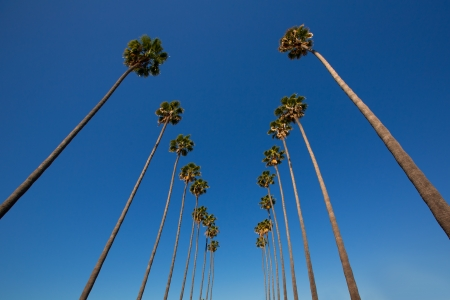 palm: LA Los Angeles palm trees in a row typical California Washingtonia filifera