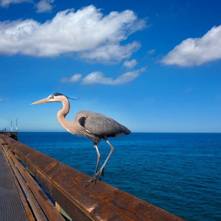 ardea cinerea: Great blue Heron Ardea cinerea in Newport pier California USA