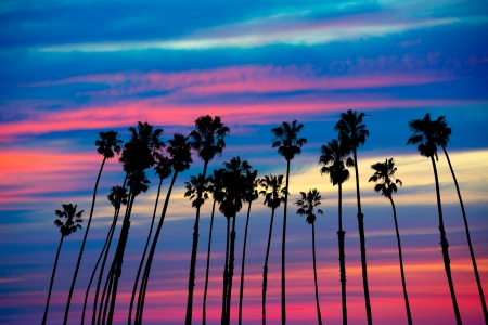 palm: California palm trees group sunset with colorful sky