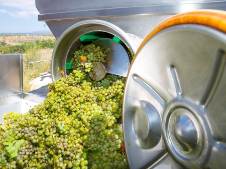winemaking: chardonnay corkscrew crusher destemmer in winemaking with grapes Stock Photo