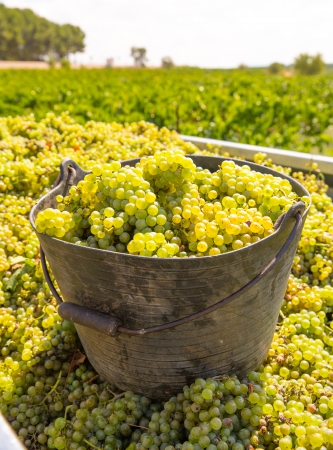 chardonnay: chardonnay harvesting with wine grapes harvest in Mediterranean