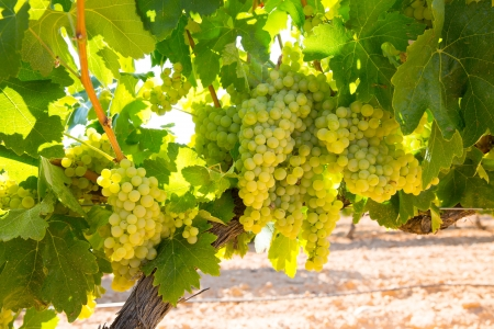 chardonnay: chardonnay Wine grapes in vineyard raw ready for harvest in Mediterranean Stock Photo