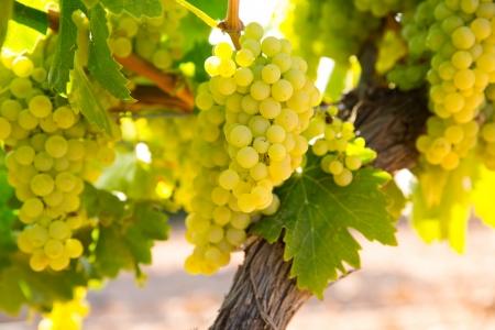 シャルドネ ワイン原料のブドウ畑のブドウは、地中海で収穫期を迎える