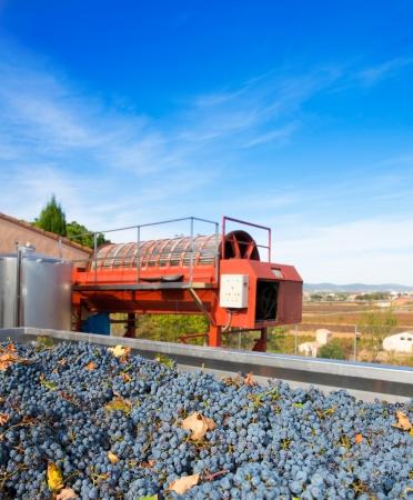 cabernet: cabernet sauvignon uvas de vino y prensa redonda en el exterior despu�s de la cosecha Foto de archivo