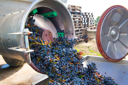 wineyard: corkscrew crusher destemmer in winemaking with cabernet sauvignon grapes Stock Photo