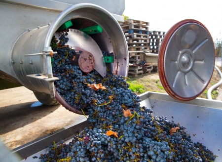 winemaking: corkscrew crusher destemmer in winemaking with cabernet sauvignon grapes Stock Photo