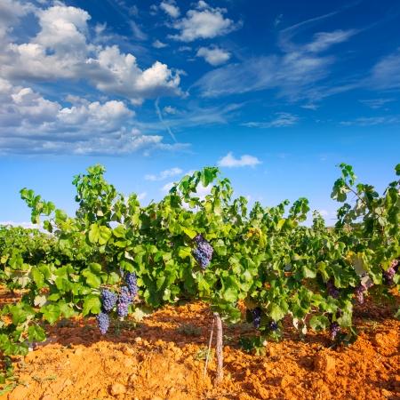 grape vines: Mediterranean vineyards in Utiel Requena at Spain wines