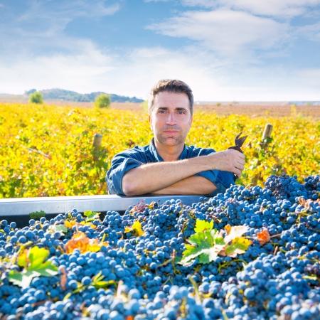 cabernet sauvignon: Mediterranean vineyard harvest farmer farming cabernet sauvignon grape field in Spain