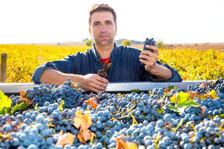 cabernet: Mediterranean vineyard harvest farmer farming cabernet sauvignon grape field in Spain