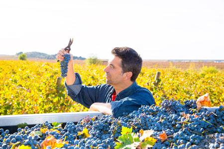 cabernet: Mediterr�neo vi�edo agricultor agricultura cabernet campo de la uva sauvignon cosecha en Espa�a