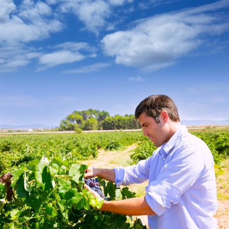 winemaker: Winemaker oenologist checking bobal wine grapes ready for harvest in Mediterranean