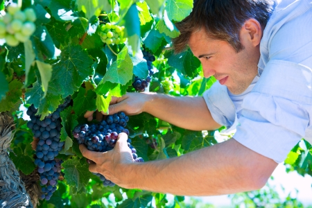 agriculture industry: Winemaker oenologist checking bobal wine grapes ready for harvest in Mediterranean