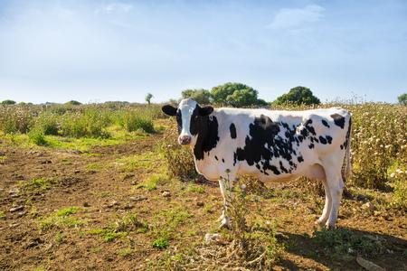 fresian: Menorca friesian cow grazing near Ciutadella Balearic Islands cattle