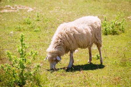Sheep grazing grass in Menorca Balearic islands photo