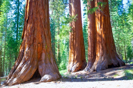 mariposa: Sequoias Bachelor and three Graces in Mariposa Grove at Yosemite National Park California Stock Photo