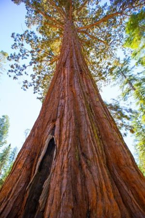 Sequoias in Mariposa grove at Yosemite National Park California photo