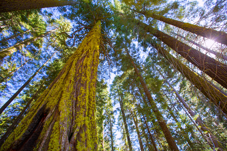 sequoia: Sequoias in California view from below at Mariposa Grove of Yosemite USA Stock Photo