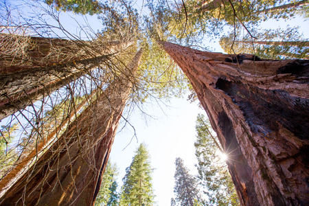 valley below: Sequoias in California view from below at Mariposa Grove of Yosemite USA Stock Photo