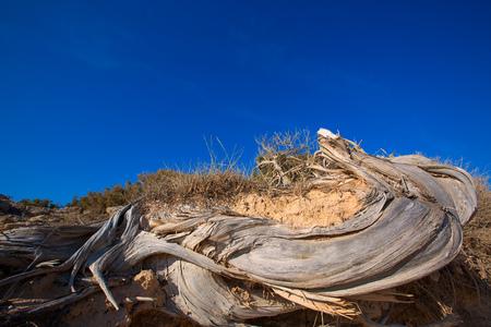 enebro: Mediterráneo trenzado enebro tronco de árbol seca en la playa de Formentera duna